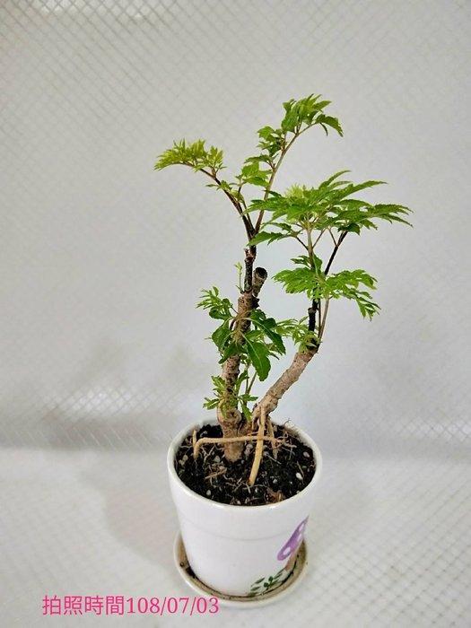 易園園藝- 羽葉福祿桐樹F52(福貴樹/風水樹)室內盆栽小品/盆景高約23公分