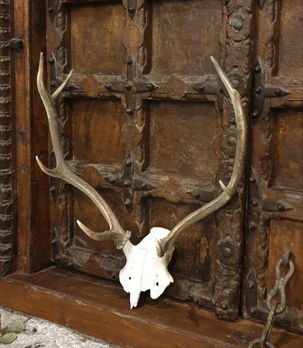 【卡卡頌 歐洲古董】德國老件~  個性  鹿角  動物  標本  頭骨  掛飾  Deco ss0621