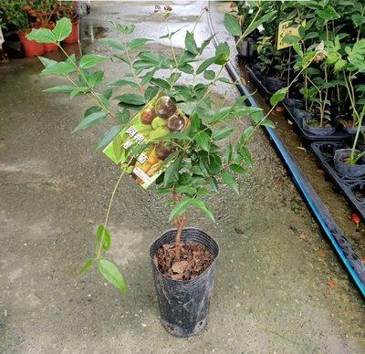 李家果苗 阿根廷樹葡萄 4吋盆 實生苗 4年生果 大果品種 單價160元