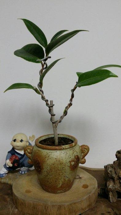 台中瘋小品-小品盆栽-茶花-黑領帶-01-特價