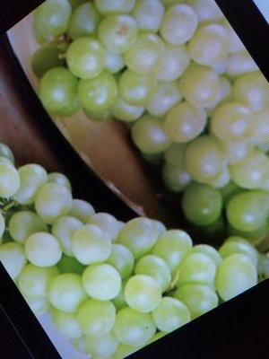 老盆養 已經很會生果實的白葡萄樹 長度約有五6米 已經有斷根了 曾經有生過6 7公斤的白葡萄 釀了半甕的酒 便宜賣需自取