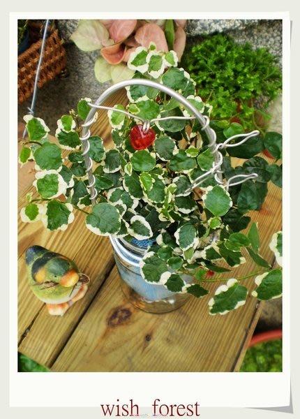 WISH  FOREST【嚴選植栽。薛荔/雪荔】用綠色來舖滿冰冷的牆面/耐旱耐晒