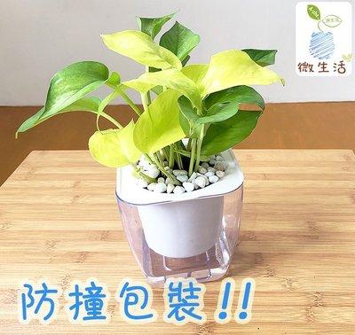 【現貨】【小品文化】綠蘿 透明懶人盆栽 空氣淨化 加水更方便 觀葉植物 室內植物 水培 創意花盆 居家辦公盆花 種子