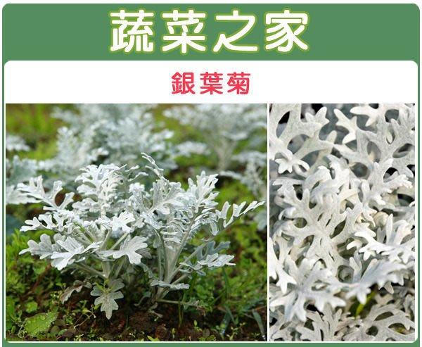 【蔬菜之家】H20.銀葉菊種子20顆(銀色,高15~25cm.花卉種子)