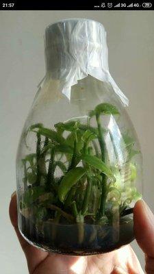 永安蘭園 蘭花 瓶苗 香莢蘭 學名:Vanilla planifolia 香草
