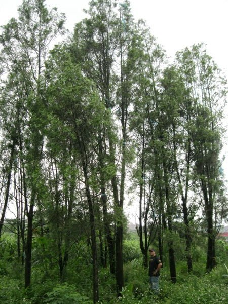 (青山園藝).肖楠.梢楠 .米俓25~30cm.高度約12米.  真柏龍柏桂花油杉黑松羅漢九芎