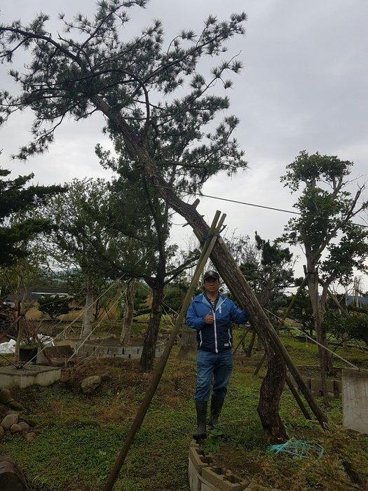(青山園藝)  黑松 迎賓樹 斜飄型  高度6~7米  真柏桂花茶花紫檀龍柏櫻花油杉