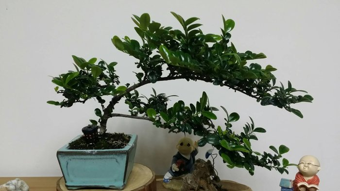 台中瘋小品-小品盆栽-翠米茶-1-特價