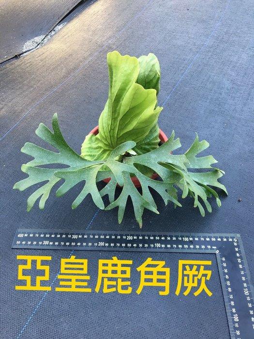 亞猴 亞皇 蕨類 室內綠化佈置 裝置植栽牆 森林系