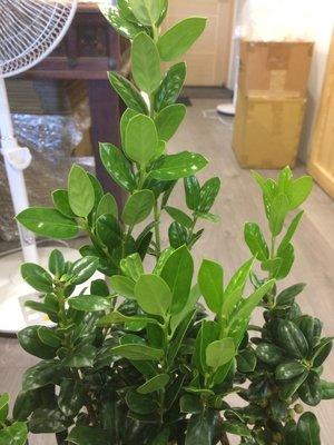 花花世界_圍籬植物--小葉冬青--葉色亮麗 葉型動人/5-6吋盆/高20-25cm/TS