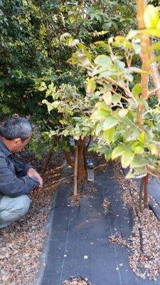 樹葡萄 100棵  8公分以上都已會結果