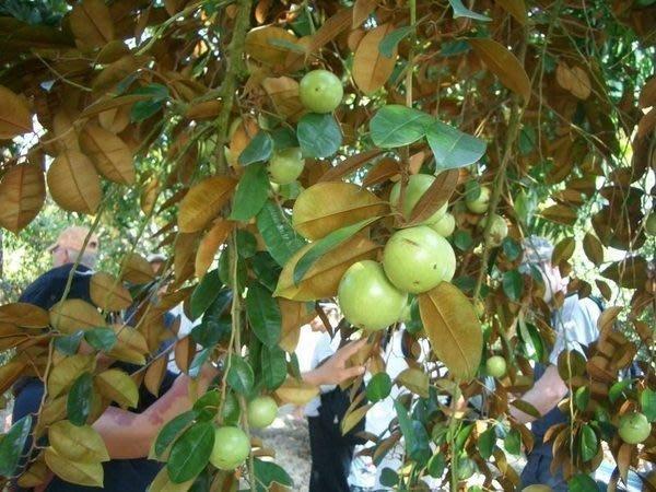 ╭*田尾玫瑰園*╯水果苗(牛奶果)(星蘋果)---營養成分高於蘋果.梨.李.柑桔