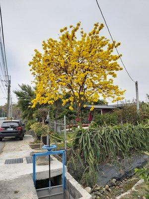 黃金風鈴木 高2米多 美殖袋