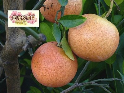 ╭*田尾玫瑰園*╯水果成樹--(紅寶石葡萄柚)高1米800元(數量不多)