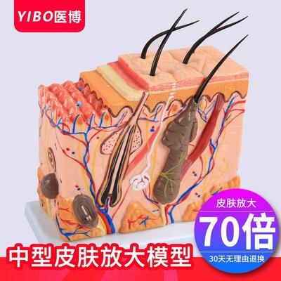 皮膚結構解剖模型 美容教學皮膚組織層次立體構造微整形 皮膚模型
