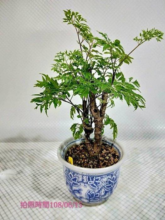 易園園藝- 羽葉福祿桐樹F43(福貴樹/風水樹)室內盆栽小品/盆景高約24公分