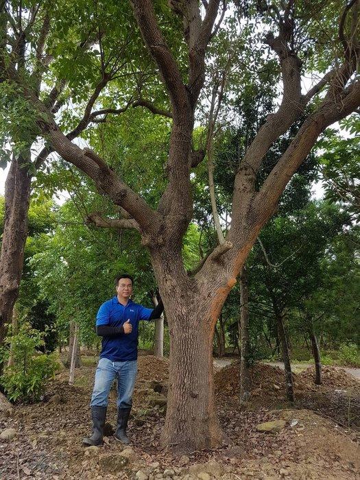 (青山園藝) 美型大樟樹  真柏桂花黑松七里香油杉象牙木真柏