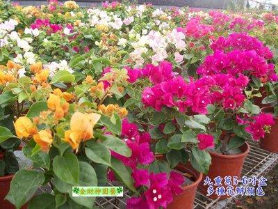 《松發園藝─樹種之家》※庭園-景觀-植栽-綠化-※ 九重葛
