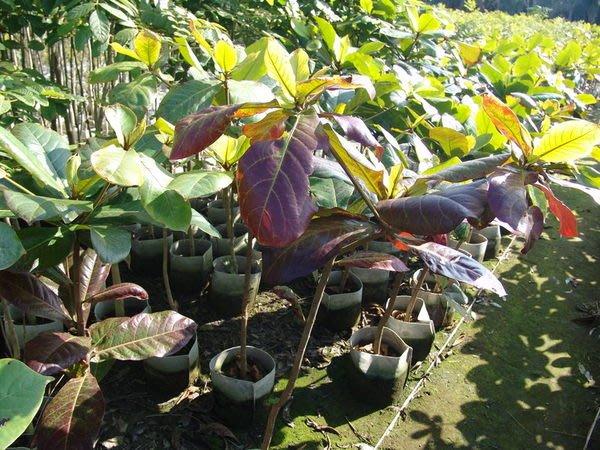 ╭ *田尾玫瑰園*╯庭園用樹-(大葉欖仁)-以它的姿態、紅葉、新芽叫人印象深刻