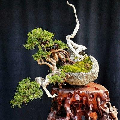 《101~易天地》日本系魚川真柏 露根 懸崖樹型 中小品盆栽 造景