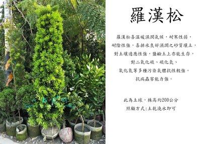 心栽花坊-羅漢松/土球/錐形/綠化植物/綠籬植物/售價2500特價2000