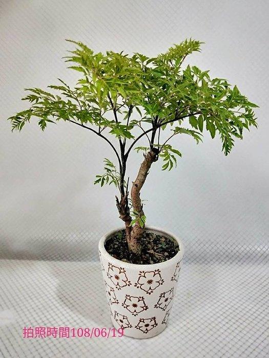 易園園藝- 羽葉福祿桐樹F9(福貴樹/風水樹)室內盆栽小品/盆景高約30公分