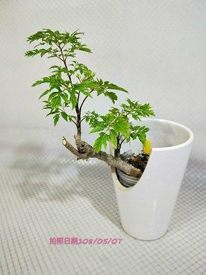 易園園藝- 羽葉福祿桐樹F28(福貴樹/風水樹)室內盆栽小品/盆景高約23公分