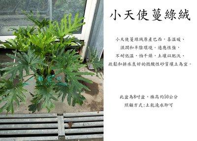 心栽花坊-小天使蔓綠絨/8吋/觀葉植物/室內植物/綠化植物/售價500特價400