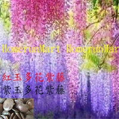 IL日本多花樹紫藤種子10粒日本多花紫藤種子紅玉藤白玉藤紫玉多花紫藤喬木質堅硬非蔓藤類優美盆栽珍品