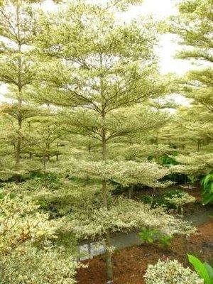 【海灣園藝】班葉欖仁(花葉欖仁)最亮眼的行道樹