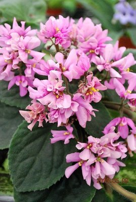 堤緣花語陶-淨化室內空氣植物-Tiyuans Pink butterfly  粉紅蝴蝶 [台灣育種]