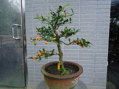~~~日本八房金豆柑盆栽~~~