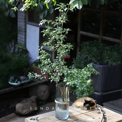 莉迪卡娜~進口馬醉木盆栽鮮切枝條日本吊鐘水養植物室內灌木鮮插花同城速遞