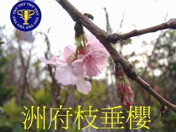 ╭*田尾玫瑰園*╯新品種櫻花-(洲府枝垂櫻)成樹-粉紅花色.在平地都長得很好