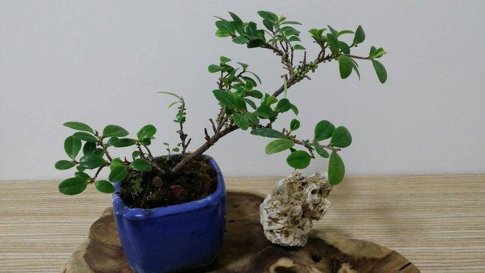 台中瘋小品-小品盆栽-翠米茶-02-特價