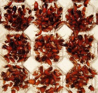 櫻桃紅蟑螂(下單後請告知需要什麼尺寸謝謝您)