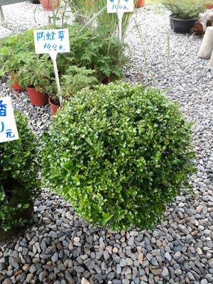 細葉球型約55公分-造型七里香-觀賞植物
