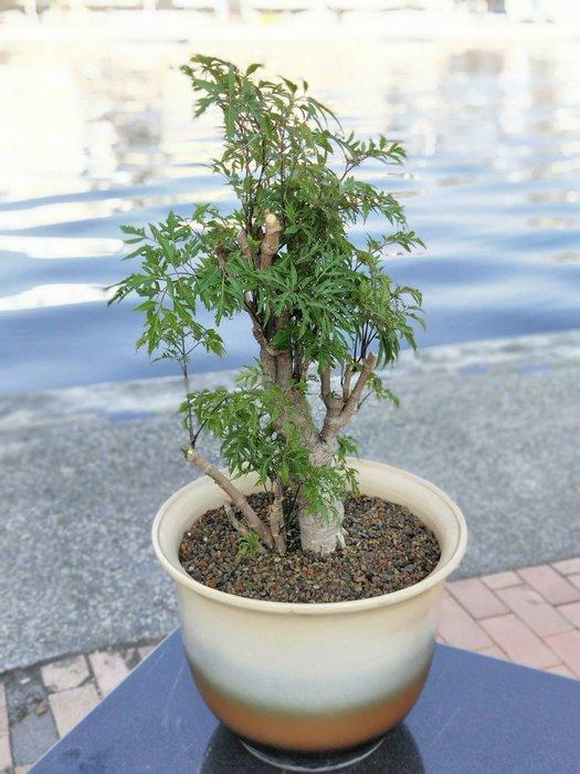 易園園藝- 羽葉福祿桐樹F15(福貴樹/風水樹)室內盆栽小品/盆景高約65公分