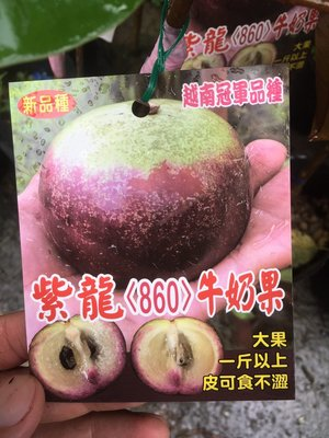 1☆東霖園藝☆╮水果苗(紫龍牛奶果) 牛奶果..嫁接苗-----缺貨中