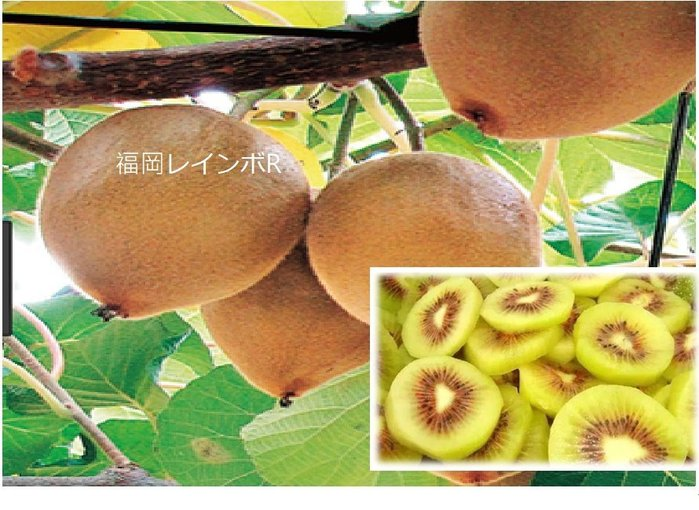 日野農產/日本進口福岡紅心奇異果【預購8折搶購價 】 10月底到貨!!