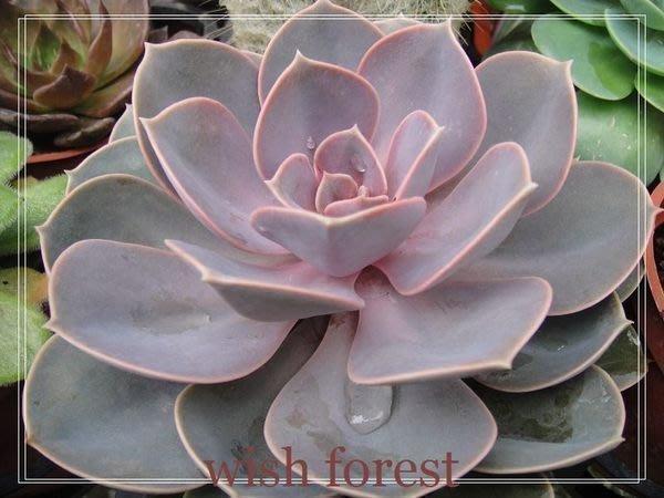 WISH FOREST【多肉。石蓮。玫瑰石蓮(紐倫堡珍珠)】。石蓮玩家不可少的品種~~。淡紫色~~