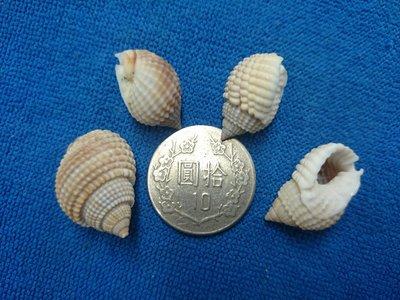 【鑫寶貝】貝殼DIY 球織紋螺 口徑0.5~0.8cm 可DIY貼圖 水族造景、盆栽造景 10顆30元  40顆80元