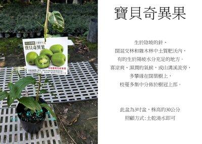 心栽花坊-寶貝奇異果/水果苗/奇異果品種/實生苗/無須嫁接就會生/售價400特價350