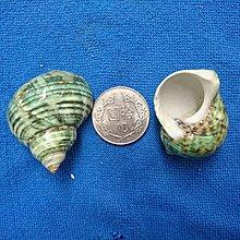 【鑫寶貝】貝殼DIY 蠑螺(磨皮) 口徑1.8~2.5cm 寄居蟹的家 水族造景、貝殼收藏 拍照擺設、開店擺設、鏤空桌面擺設 單顆30元