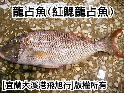 龍針魚(紅鰓龍占魚)