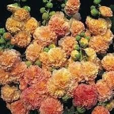 英國花園Alcea rosea Maid of Honour 重瓣蜀葵種子盆栽陽臺花壇易播好養:5入:H0015