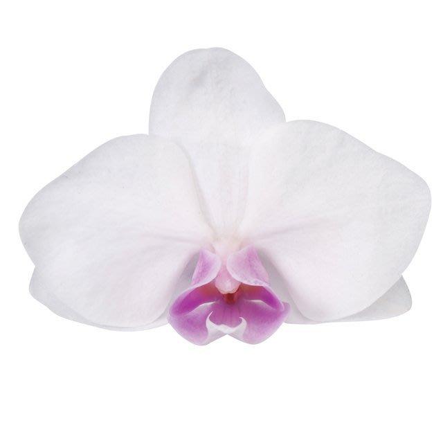 (預約)蝴蝶蘭 10盒入 DO000312-010 コチョウランS