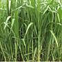 青青草原 鮮採,無農藥天然牧草(狼尾草)首賣價1公斤90元(牧草純葉)~兔寶/鼠寶適食用
