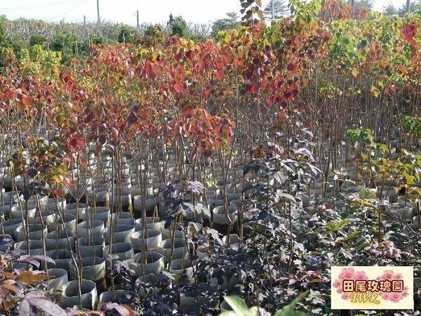 ╭ *田尾玫瑰園*╯庭園用樹--(烏臼)菱形葉,富有四季變化