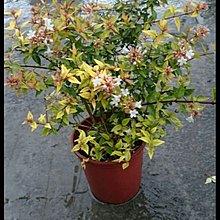 六道木 6吋盆 花花世界玫瑰園